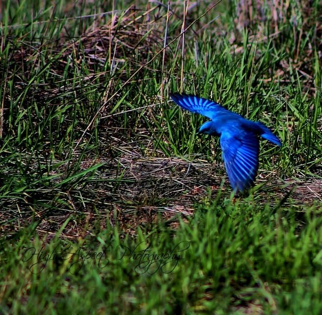 bluebirdcopy-2479x2428