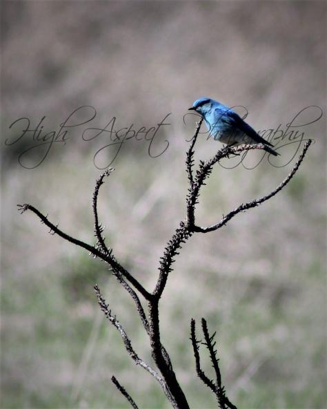 Entiat Bluebirdwithwatermark
